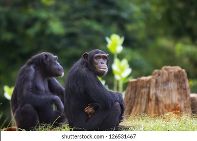 The group of a chimpanzee sitting and relax in the nature.