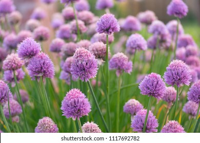 Group of Chive flowers-2