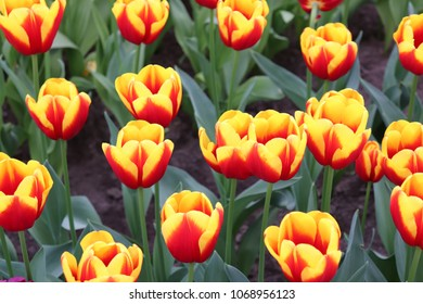 Group of up close beautiful vibrant red yellow tulips in holland dutch field on sunny day in the park