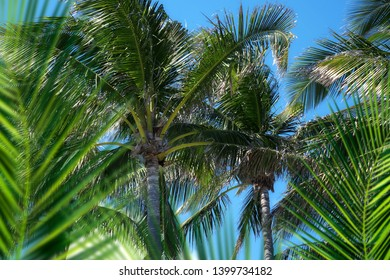Group of close up tall coconut palm trees over sunny blue sky in Deerfield beach, Florida, USA