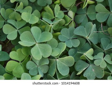 Group of clover growing in Florida