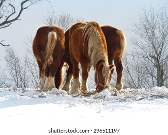 group of Clydesdale feeding on snowy ground