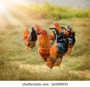 group of cocks