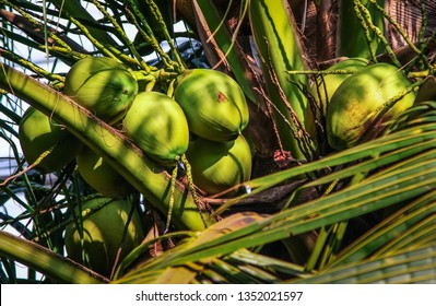 Group of coconut fruit on tree