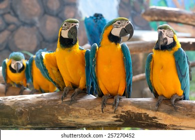 Group Of Colorful Blue And Yellow Parrot Macaw Ara Ararauna