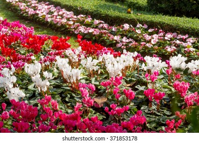 Group of colorful cyclamen flowers blossom in flower garden