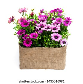 Group  of colorful daisy flowers in sack cloth basket isolated on white