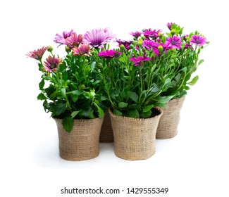 Group  of colorful daisy flowers in small pots decorated with sackcloth isolated on white