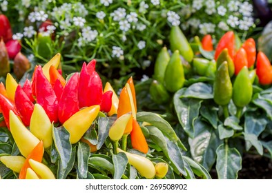 Group of colorful ornamental peppers decorated in flower garden