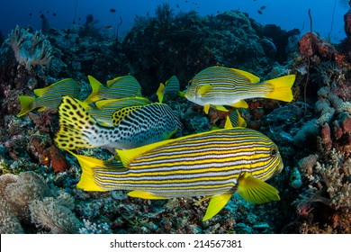 A group of colorful Ribbon sweetlips hover over a coral reef slope in Indonesia. Sweetlips are large, vibrant reef fish common throughout the tropical western Pacific.