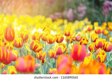 Group of colorful tulip. Red and yellow flower tulip lit by sunlight. Soft selective focus, tulip close up, toning. Bright colorful tulip photo background