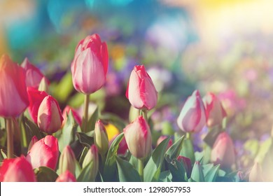 Group of colorful tulip in spring garden.  Bright colorful tulip photo background. Amazing spring concept and background.
