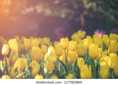 Group of colorful tulip. Yellow flower tulip lit by sunlight. Soft selective focus, tulip close up, toning. Bright colorful tulip photo background