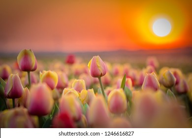 Group of colourful tulips. Yellow red flower tulip lit by sunset light. Selective focus. Colourful tulip photo background. Traditional Netherlands Holland Dutch scenery with tulips, Noordoostpolder