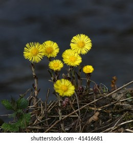 Group of coltsfoot flowers on blurred background