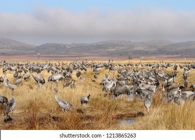 Group of common cranes (Grus grus) in Gallocanta, Spain
