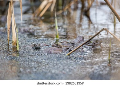 Group of common frogs in water during creating new lives. Wildlife scene from nature. Animal in the nature habitat. (Rana temporaria)