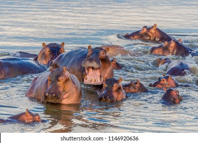 A group of common hippopotamus (Hippopotamus amphibius), or hippo, in the South Luangwa river, South Luangwa, Zambia, Africa