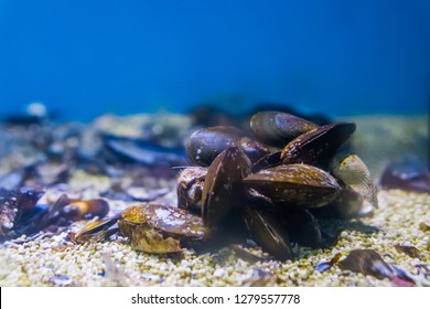 group of common mussels together underwater, nature sea background