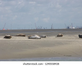group of common seals sleeping at a sandbank in the westerschelde in holland in summer with high tide