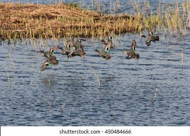 A group of Common Teal duck coming in to land at Marazion Marsh RSPB Reserve, Cornwall, England, UK.