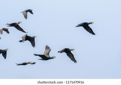 A group of cormorants flying away from the lake rajbagh inside ranthambore national park during wildlife safari