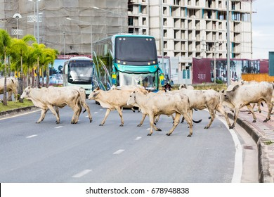 Group of cow are walking across the road and blocking the road