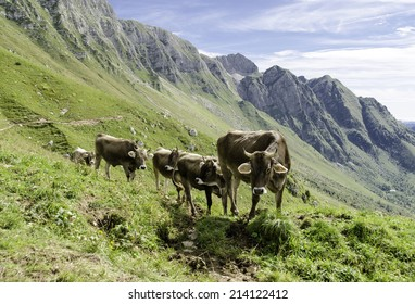 Group of cows in alps
