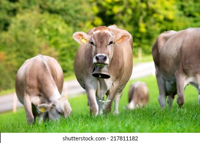 Group of cows in field