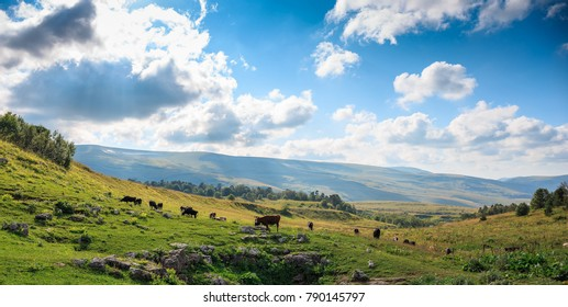 Group of cows graze in green meadow in sunny summer day, livestock farmland in rural mountain landscape, panoramic photo