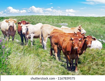 Group of cows grazing.
