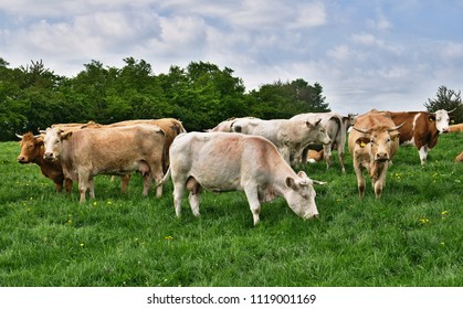 Group of cows grazing at the forest