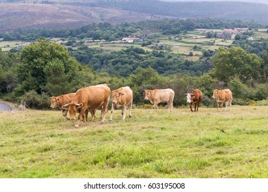 Group of cows grazing in Galicia (Spain)