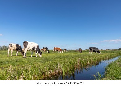 Group of cows grazing in a green in a pasture bordered by a ditch, a panoramic wide view