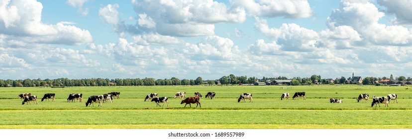 Group of cows grazing in the pasture, peaceful and sunny in Dutch landscape of flat land with a blue sky with clouds on the horizon, wide view