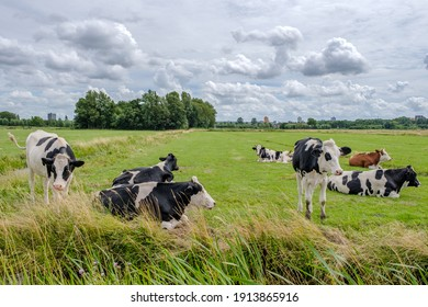 A group of cows in a green grassy meadow on a cloudy day in a typical Dutch polder landscape, a few km from Rotterdam, Netherlands