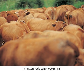 Group of cows having a stare