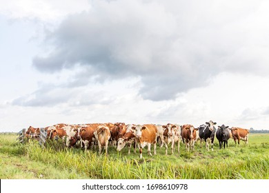 Group of cows  in the pasture, a wide view.
