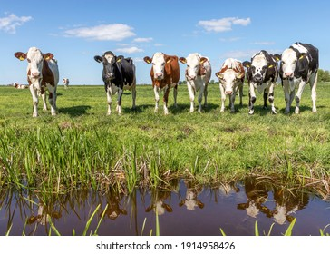 Group of cows reflection, mirror standing upright on the edge of a green field, herd in a pasture, panoramic wide view