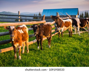 A group of cows resting in the morning near a farm from Bucovina, a region in northern Romania.