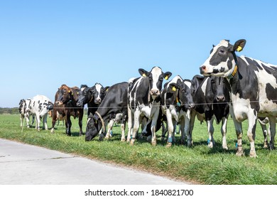 Group of cows waiting behind a line fence, together standing in a green pasture, next to each other in a wide view