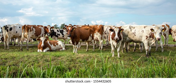 Group of cows waiting to go to the milking parlor in the pasture, a wide view.