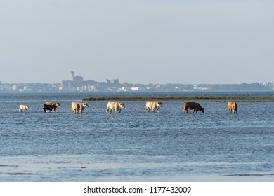 Group of cows walking in a line in the water by the coast at the swedish island Oland