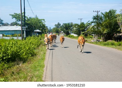 a group of cows walking on the hot sunny day asphalt road in a rural area in Indonesia