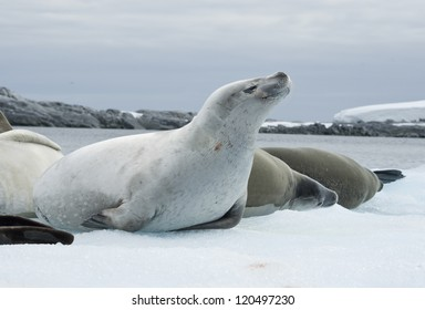 Group crabeater seals on the ice.