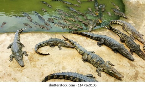 group of crocodile sunbathing on concrete floor of pond edge and some part soaking in water