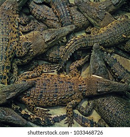 group of crocodiles laying together