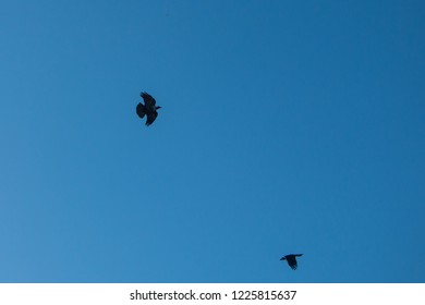 Group of crows flaying
