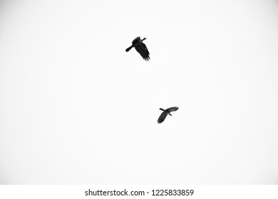 Group of crows flaying black and white photo