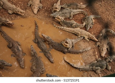 A group of Cuban crocodiles resting in the water waiting for lunch, Guama, Santiago do Cuba, Cuba.